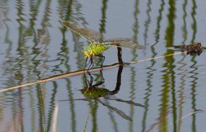 Libelle bij het water 700 x 450