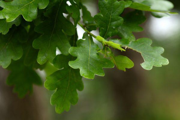 herinneringsboom jonge eik