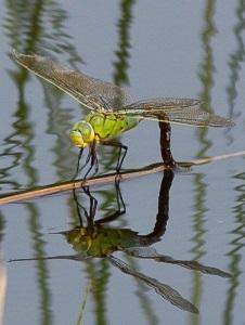Libelle op water 226x300